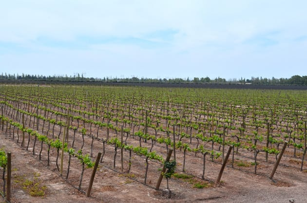 Trivento Vineyard
