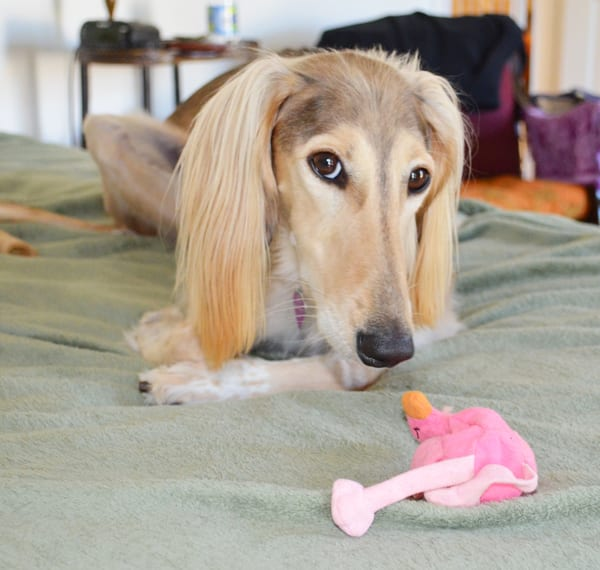 Saluki with Flamengo plush toy - 4 things I learned