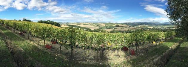 Roccafiore Winery and Resort Vineyards