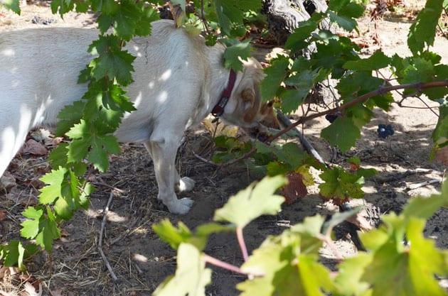 Harney Lane Labrador Charlie eating grapes