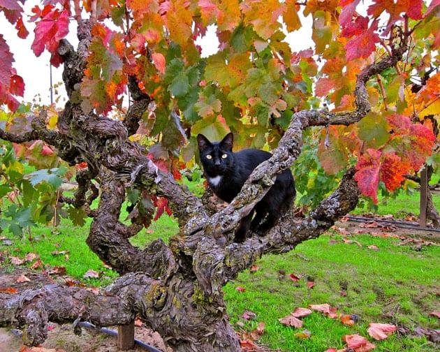Winery Cat - Jessie's Grove's Royal Tee Vineyard - photo Randy Caparoso
