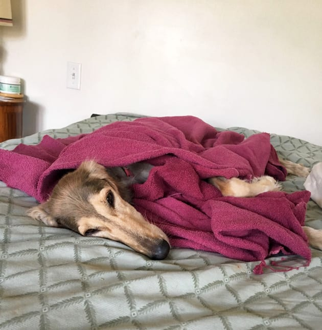 Chloe Home Resting - Lost Dog Rescue