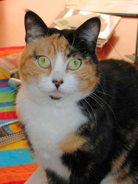 Calico Cat Sitting Dining Room