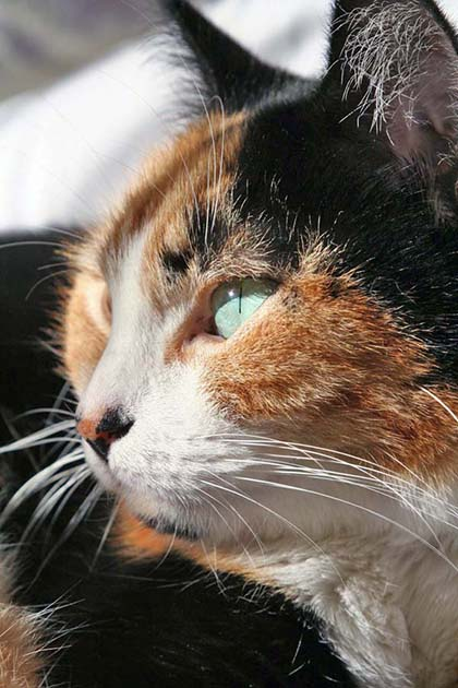 Milly Calico Cat Side Face