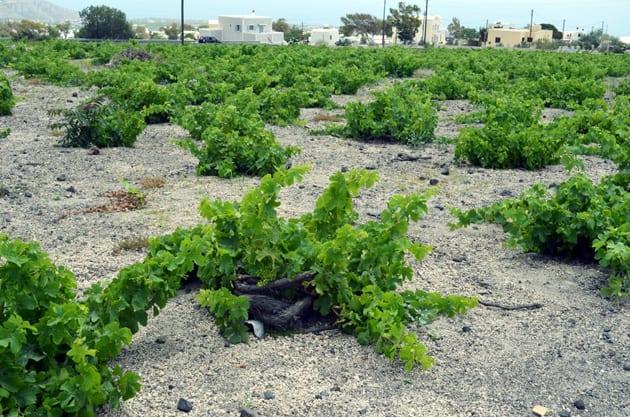 Koulara Basket Trained Grape Vines