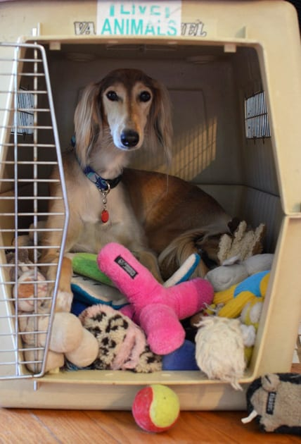 Flying with Pets - Crate Training Chloe