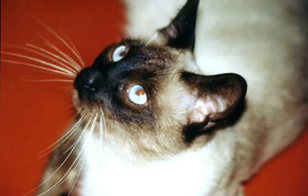 Sparky the Siamese Cat