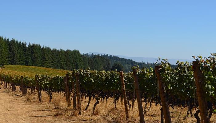 The Vineyards of Antiquum Farm