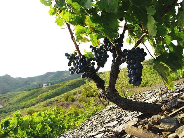 Vall Llach Vine in Llicorella
