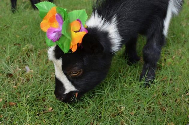 Nigeria Dwarf Goat