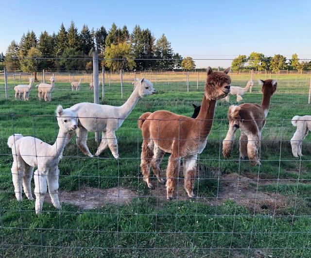 The Alpacas of Marquam Hill Ranch