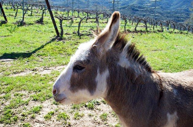 Folded Hills Donkey