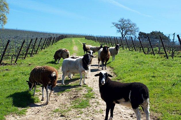 Folded Hills Rambouillet Sheep