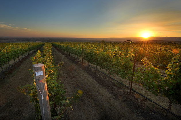 Ferguson Vineyard Sunset