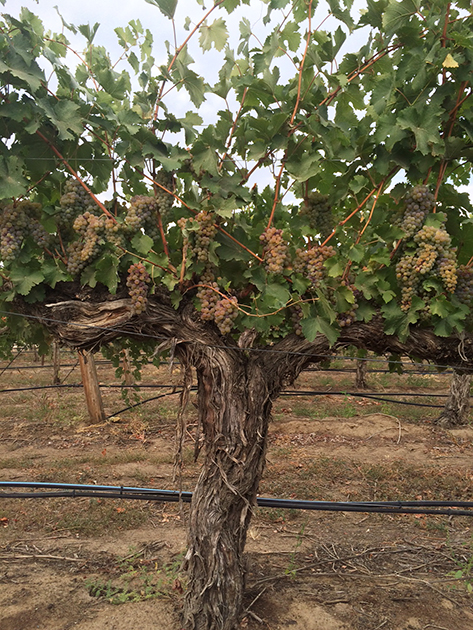 Rothrock Vineyard Chenin Blanc Vine (C) L'Ecole No 41