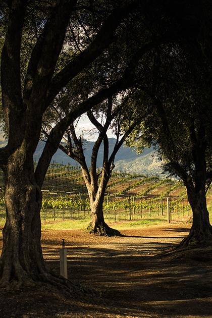 Smith-Madrone Trees - Spring Mountain District © Kelly Puleio