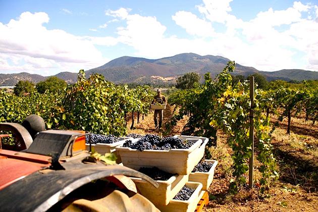 Prima Materia Lake County Vineyard © Pietro Buttitta